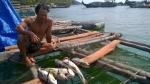 Kiên Giang: Thiệt hại lớn do cá lồng bè chết hàng loạt