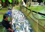 Nguồn cung giảm khiến giá cá tra tăng