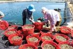 Nghệ An: Thành công nuôi tôm trên cát