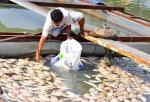 Đà Nẵng: Người dân trắng tay vì cá chết