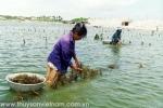 Ninh Thuận: Nhân rộng mô hình kết hợp tôm sú với hải sâm và rong biển