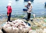 Khánh Hòa: Cá chết trắng lồng