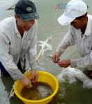 An Giang: Củng cố, hoàn thiện vùng nuôi tôm