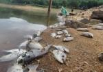 Cá chết xếp lớp dưới lòng hồ ở Quảng Nam