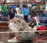 Nghệ An: Cá mặt trăng gần 1 tấn mắc lưới ngư dân