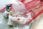 Nghệ An: Nuôi tôm không kháng sinh, hóa chất