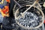 Bột cá Peru và cái đích bền vững