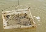 Cà Mau: Làm giàu từ nuôi cá chình