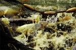 Góc chuyên gia: Phòng bệnh cho cá trắm đen