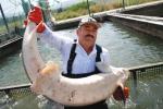 Thu hoạch trứng cá tầm ở Israel