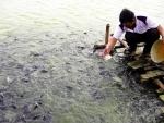 """""""Tin tặc"""" nuôi cá rô phi bằng thuốc trừ sâu"""