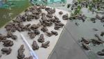 Dân xứ tôm nuôi… ếch giống