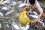 Cá tra tăng giá trở lại