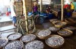 Cà Mau: Giá cá cơm giảm do được mùa