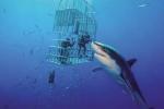 Cá mập trắng lớn nhất thế giới dài hơn 6 m