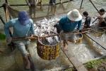 Đồng Tháp: Giá cá tra tăng khá