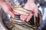 Kiên Giang: Hướng đi mới từ nuôi cá chạch bùn