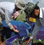 Bạc Liêu: Thăng trầm nghề nuôi cá kèo thâm canh