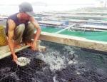 Quảng Ngãi: Cá bớp rớt giá thê thảm