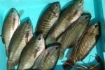 Hậu Giang: Hiệu quả nuôi ghép cá trê vàng và sặc rằn