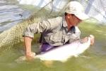 Gỡ thách thức cho cá tra