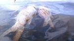 Liên tục cá chết ở các sông, suối, hồ chứa nước