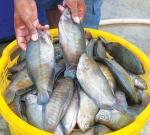 Đắng lòng người nuôi cá bổi!