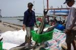 Giá cá bớp tăng mạnh