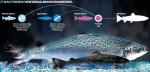 Kỹ thuật sản xuất cá biến đổi gen