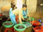 Quảng Nam: Ngư dân trúng mùa ốc đinh