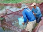 """Đồng Tháp: Cá tra giống tăng giá  """"khủng"""", nông dân lãi khá"""