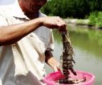 Nuôi tôm bền vững gắn bảo tồn vùng ngập mặn