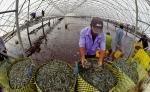 Bình Định: Quy hoạch phân khu chức năng nuôi tôm công nghệ cao Phù Cát