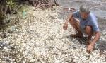 300 tấn nghêu chết hàng loạt ở Kiên Giang: Nghi do độc tố cực mạnh?