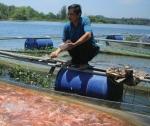 Quảng Nam: Độc đáo nuôi cá bằng phương pháp dân gian