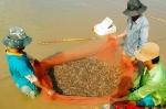 ĐBSCL: Phát triển chuỗi giá trị sản xuất tôm bền vững