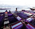 Quảng Ngãi: Thử nghiệm thành công ươm giống cá bớp