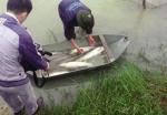 Nghệ An: Nuôi cá trắm giòn và chép giòn bằng thức ăn đậu tằm