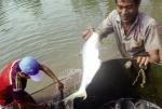 Sóc Trăng: Triển vọng từ nuôi cá bông lau