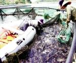Phát triển cá nước lạnh ở Việt Nam: Cơ hội nhìn từ giống
