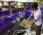Trà Vinh: Đẩy mạnh nuôi lươn đồng thương phẩm