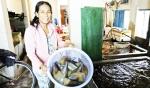 Vạn Ninh: Người dân nuôi sò mai tự phát