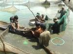 Nhiều loại thủy sản ở Đồng Tháp giảm giá, nông dân không có lãi