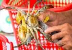 Giá cua biển giảm nhưng người nuôi vẫn có lãi