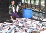 Tôm sú, cá tra tăng giá mạnh, hút hàng chế biến xuất khẩu