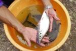 Triển vọng nuôi cá thát lát cườm lồng bè