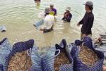 Cà Mau: Thách thức nuôi tôm công nghiệp siêu thâm canh