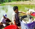 Nuôi thủy sản ở Sóc Trăng: Không chỉ là sú, thẻ