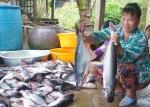 Giá cá tra tăng lên kỷ lục, 'cơn sốt' chỉ nhất thời