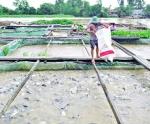 Tỷ phú cá thát lát cườm trên sông Hậu